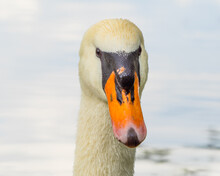 Swan Head Close Up, Blue Water Surface In Background