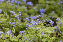 Flowering Field Of Large-leaved Caucasus Forget-me-not