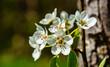 Weiße Blüten an einem Baum