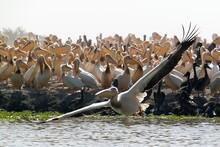 Pelican Colony In Djoudj Natural Reserve, Senegal