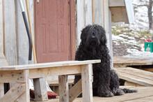 Large Shaggy Black Dog Sitting On A Porch