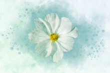Watercolor Painting Of White Cosmea Flower - In Latin Cosmos Bipinnatus. Letter Head Or Greeting Card