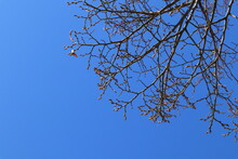 Close Up Of Branch From At Tree. Spring Time, Start Of Blossom. Nice Sunny Weahter Outside. Close Up. Clear Blue Sky, No Clouds. Copy Space For Extra Text. Stockholm, Sweden.