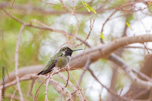 Fototapeta premium Close up shot of beautiful hummingbird resting on a brunch