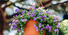 Blue-eyed Grasses In The Flowerpot