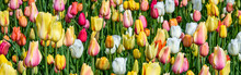 Cheerful Field Of Tulips In Yellow, Pink, White, Orange, And Green Foliage As A Spring Nature Background