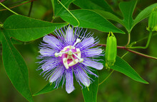Passionflower Incarnata Aka May Pop Or Passion Vine Host Plant For Butterfly Larva Caterpillar Gulf Fritillary (agraulis Vanillae) In Florida; Superb Detail