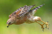 Red Shouldered Hawk (Buteo Lineatus) Flying Fast Down Toward Its Prey - Talons Behind And Open - Serious Expression On Face Blurred Green And Yellow Background