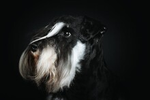 Black And Silver Miniature Schnauzer In Black Background