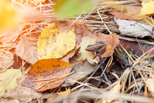 Small Gray Tree Frog Sits On Leaves And Grass With Autumn Yellow Forest During Leaf Fall. Wildlife And Nature.
