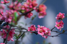 Chaenomeles Japonica Japanese Maules Quince Flowering Shrub, Beautiful Pink Flowers In Bloom On Springtime Branches