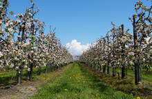 Fruit Trees In Blossom In A Orchard Near The Village Of Kapelle In Zeeland Province In The Netherlands