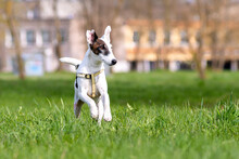 Cheerful Dog Breed Smooth Fox Terrier In Motion Against Green Of Park In Summer Or In The Spring.
