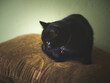Czarny kot podczas polowania