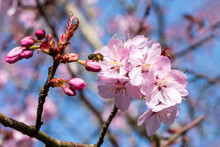 Prunus Sargentii A Springtime Flowering Cherry Tree Plant With Pink Flower Blossom In The Spring Season Which Is Commonly Known As Sargent's Cherry, Stock Photo Image