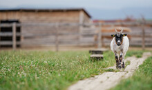 American Pygmy Cameroon Goat Walking On The Ground Wooden Footpath, Blurred Livestock Wood Shelters Background