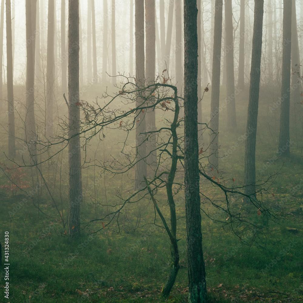 Fototapeta młody dąb w lesie sosnowym