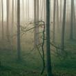 młody dąb w lesie sosnowym