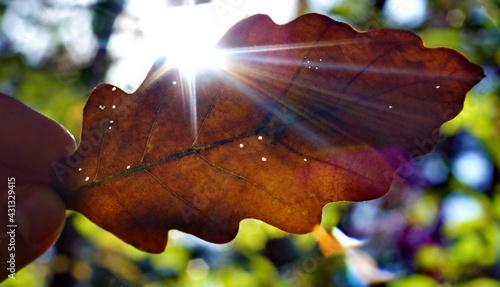 liść dębu w  jesiennych promieniach słońca - fototapety na wymiar