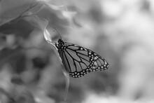Black White Butterfly Closeup
