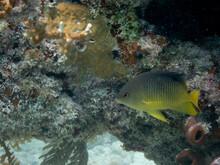 Caribbean Cocoa Damselfish