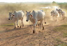 Cows Walk On The Dirt Country Road In The Dry Season