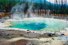 Steam Rising From A Thermal Spring Surrounded By Dead Pine Trees In Yellowstone