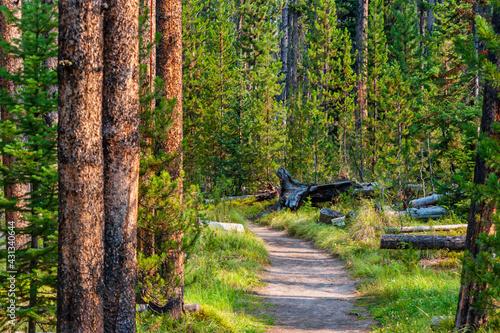 Fototapeta Hiking trail through pine forest in Yellowstone