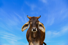 A Close Up Photo Of A Black And Brow Cow On Blue Sky Blue Skies