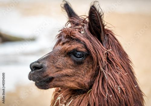 Fototapeta premium brown lama portrait