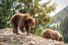 Two Wild Brown Bears
