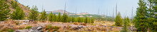 Pine Forest Recovering From A Wildfire In Yellowstone