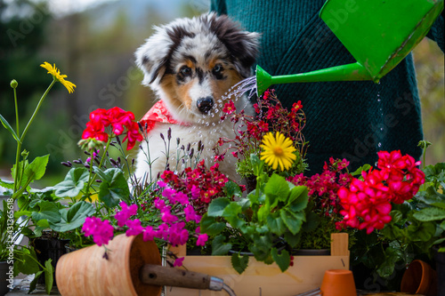 Canvas Print A woman and a cute Australian Shepherd puppy  watering flowers in the garden