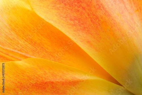 Obraz Closeup of orange tulip - fototapety do salonu
