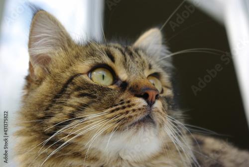 Fotografia A mongrel cat named Chewbacca
