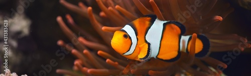 Amphiprion Ocellaris clownfish In marine aquarium. Orange corals in the background. Colorful pattern, texture, wallpaper, panoramic underwater view. Zoology, biology, science, education, zoo - fototapety na wymiar