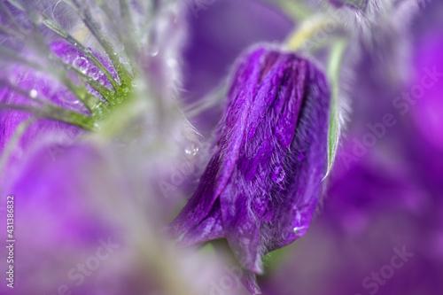 Fototapeta Wiosenna sasanka w deszczu obraz