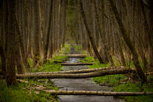 Beaver Trail In Spring - Trees Fallen By Beavers Create Bridges Over A Small Stream, Green Grasses And Tree Trunks Around. Warmia And Mazury, Olsztyn Forests, Poland