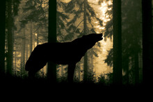 Silhouette Of A Wolf Howling In The Woods