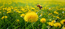 Floral Dandelion Meadow With Bee Collects Nectar