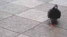 東京の街中を闊歩する鳩