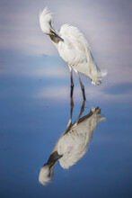 Snowy Egret In The Wild, In The Water Preening With A Reflection