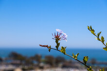 A Close Up Of A Gorgeous Light Purple Plumbago Auriculata Flower Surrounded By Lush Green Leaves At Dana Point Bluff Top Trail In Dana Point CA