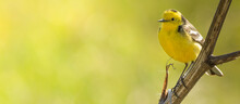 Western Yellow Wagtail, Sitting On A Branch And Singing