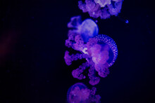 Bright, Blue And Purple Jellyfish Glowing In The Dark Water In A Tank At The Malta National Aquarium.
