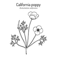 Golden Poppy, Or Cup Of Gold Eschscholzia Californica , State Flower Of California