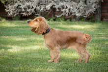 Small Cocker Spaniel Dog With A Beautiful Blonde Hair