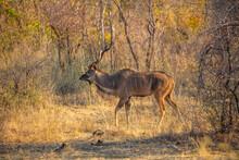 Greater Kudu (Tragelaphus Strepsiceros) Walking In The Bush