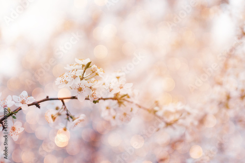 Fototapeta Beautiful floral spring abstract nature background with blooming cherry tree branches on pink background,landscape panorama, copy space