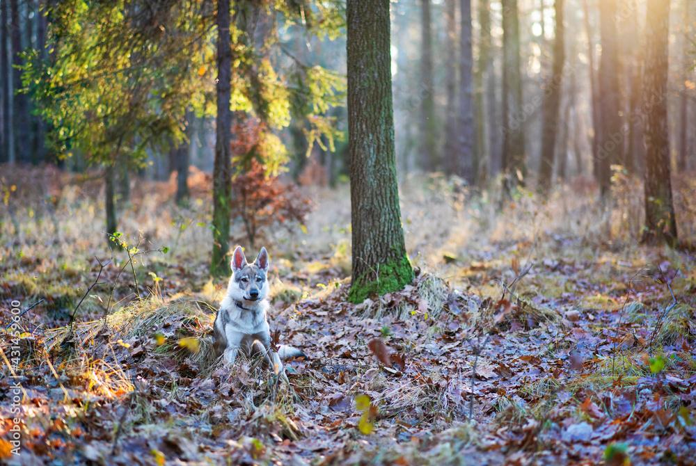 Fototapeta Piękny pies na tle natury